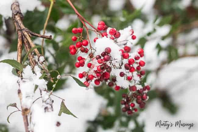 red berries in winter snow