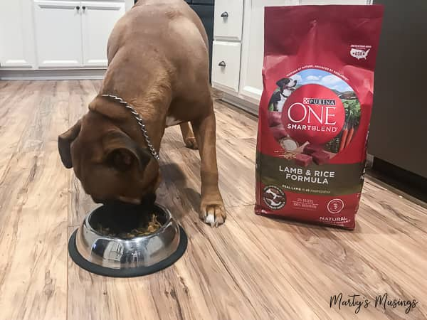 Boxer/lab mix dog eating Purina ONE Lamb & Rice formula
